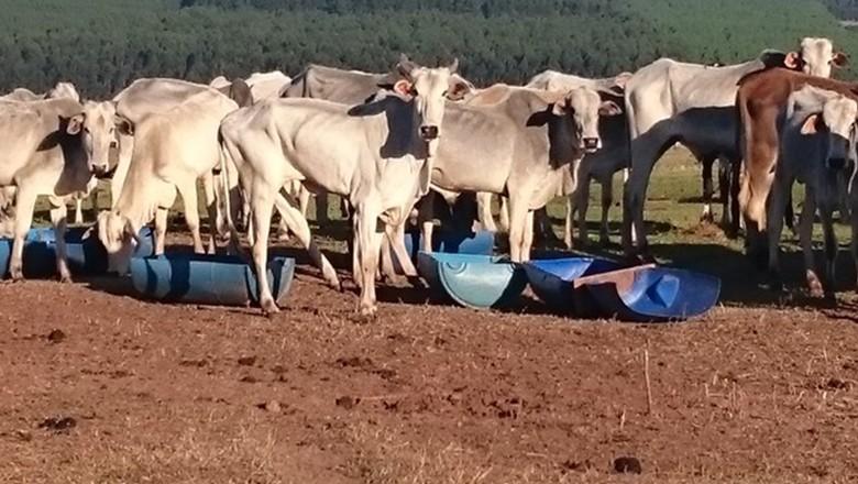 gado-sem-pasto-Altonia-PR (Foto: Divulgação/Polícia Ambienta)