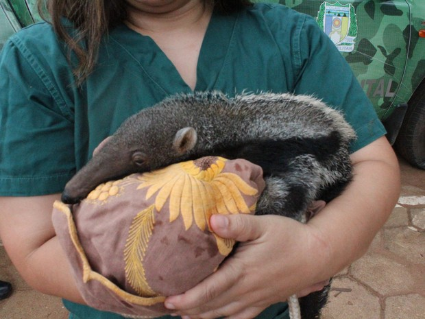 Aminal precisou ser aquecido porque foi enontrado com frio (Foto: Naturatins/Divulgação)