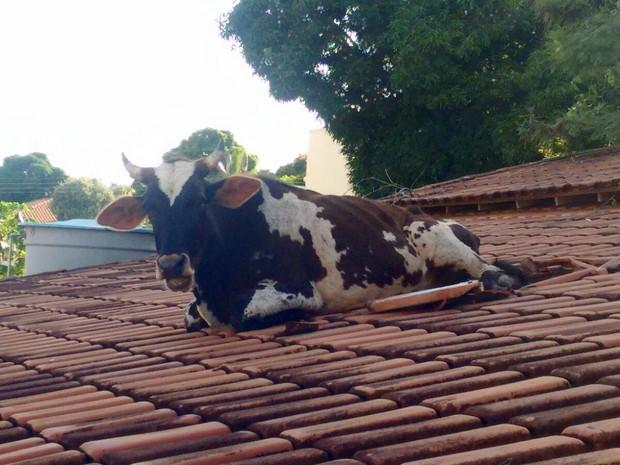Resultado de imagem para a vaca subiu no telhado