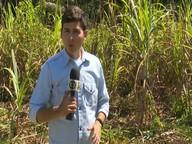 Produção de cana de açúcar garante sustento de famílias em Cruzeiro do Sul