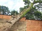 Árvore tomba sobre 3 casas e coloca famílias em risco em Ribeirão Preto