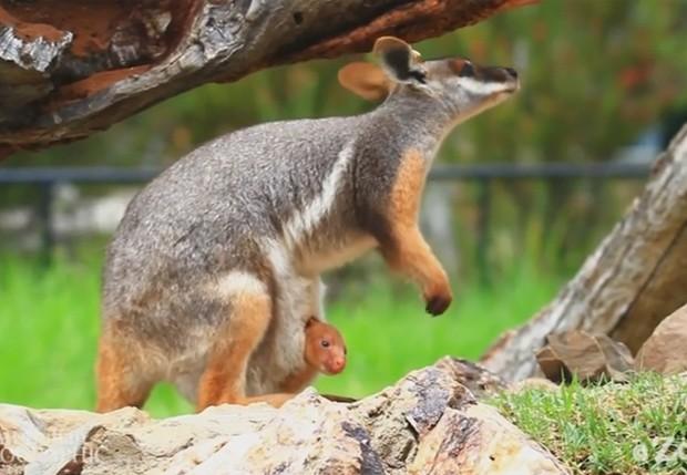 Fêmea de wallaby recebeu filhote de canguru em sua bolsa  (Foto: Reprodução/YouTube/Zoos SA)