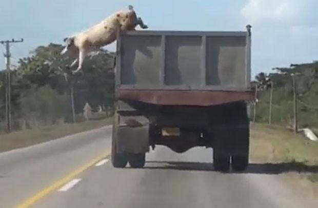 Para fugir do abate, porco saltou de caminhão em movimento e foi filmado por motorista que vinha logo atrás (Foto: Reprodução/YouTube/Alek M)