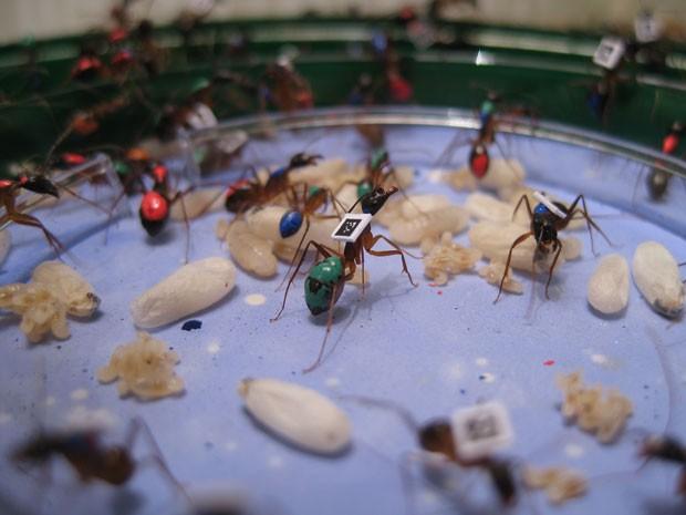 Cientistas colaram chips em formigas e descobriram que insetos se dividem em classes sociais (Foto: Alessandro Crespi/Science)