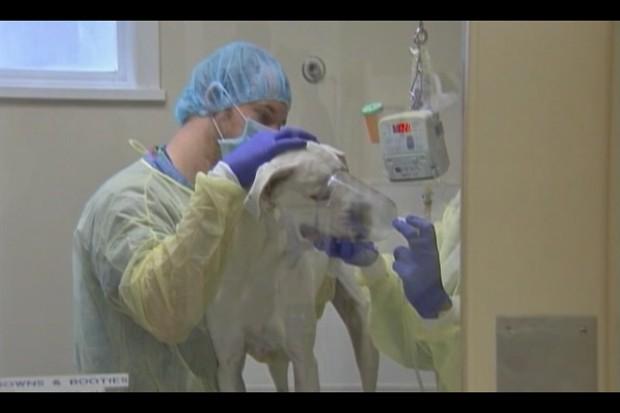 Gripe tem atingido cães da cidade de Chicago, nos Estados Unidos (Foto: BBC)