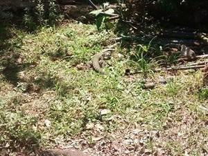 Jacaré foi visto próximo ao parque das crianças (Foto: Lourdes Camacho/Arquivo Pessoal)