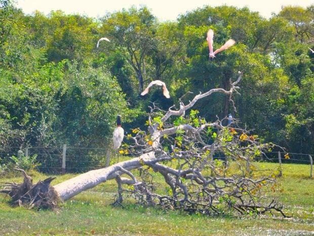 Tuiuiú (sobre o tronco), ave-símbolo do Pantanal mato-grossense, e colheireiros  (Foto: Carolina Holland/G1)