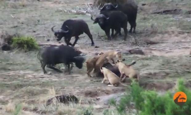 Vídeo mostra búfalos salvando companheiro por leoas (Foto: Reprodução/YouTube/Kruger Sightings)
