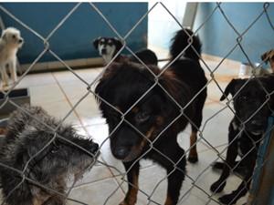 Centro de Controle de Zoonoses possui 55 cães à espera de adoção (Foto: Felipe Turioni/G1)