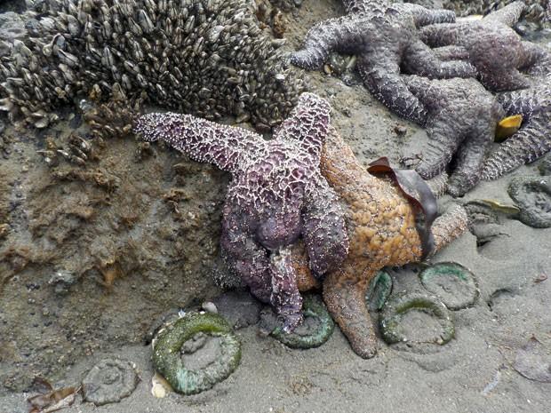 Estrelas do mar da espécie Pisaster ochraceus são vistas na praia Kalaloch, no Parque Olímpico Nacional, no estado de Washington, nos EUA: elas estão sofrendo os efeitos do aquecimento global  (Foto: Magan Crane/AFP)