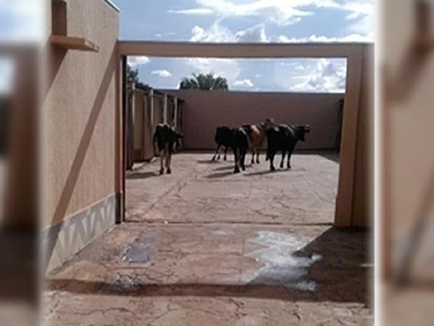 Vacas andaram até motel após acidente com caminhão na MT-130 (Foto: TVCA/Reprodução)