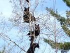 Foto de quatro ursos 'empoleirados' em árvore nos EUA vira hit