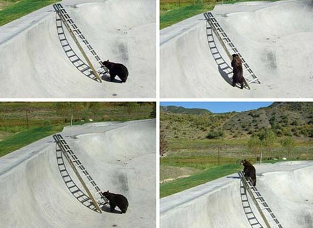 Em agosto de 2009, um urso que caiu em uma pista usada por praticantes de skate vertical, em Snowmass, no estado do Colorado (EUA), usou uma escada para deixar o local. A escada foi colocada pelas autoridades ap&#243;s o animal ter sido encontrado preso. (Foto: AP)