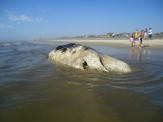 Baleia em estado de decomposição foi encontrada na beira da praia de Oasis (Foto: Tenente Aurélio Freitas de Carvalho/Patram/Tramandaí)