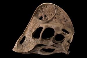 O esqueleto do animal foi reconstituído a partir de três fragmentos de fóssil. Na foto, uma reconstituição do crânio do A. wyliei (Foto: AP Photo/Smithsonian Institution, Donald E. Hurlbert)
