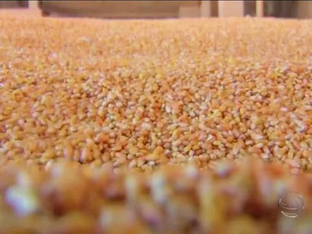 Milho em grãos assumiu a terceira posição no ranking de exportações de Mato Grosso do Sul (Foto: Reprodução/TV Morena)