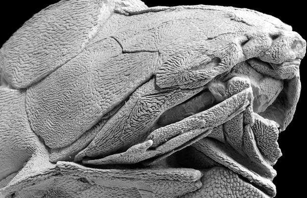 O detalhe dos fósseis da espécie 'Entelognathus primordialis' (Foto: Divulgação/Zhu, M. et al. Nature)