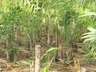 Cultivo do palmito pupunha melhora a renda de pequenos produtores de SP