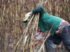 Justiça proíbe queima de palha de cana em municípios do sul de MS