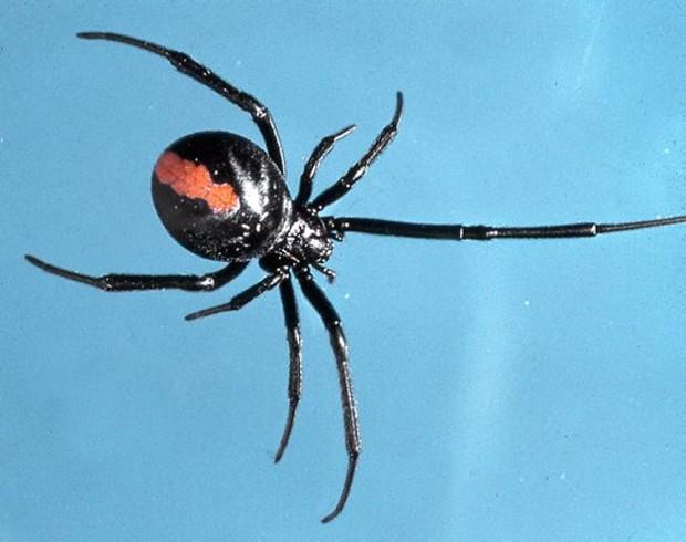 Jovem levou picada de aranha da espécie Latrodectus hasselti (Foto: Reprodução/Australian Museum )