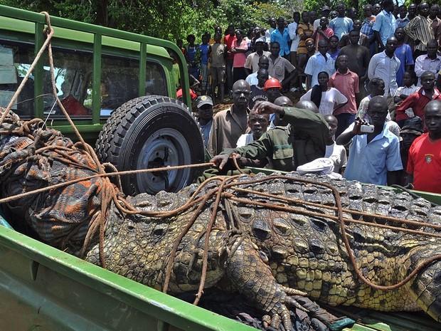 Moradores da vila de Kakira, no leste de Uganda, observam um enorme crocodilo capturado pela Autoridade de Vida Selvagem após denúncias de que o animal matou e devorou 4 pessoas. O animal de 1 t tem cerca de 80 anos e será transferido a um parque nacional (Foto: Peter Busomoke/AFP)