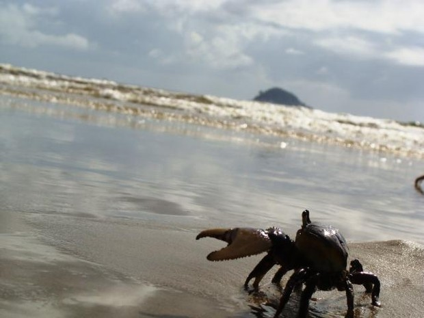 Caranguejo-uçá, no Espírito Santo. (Foto: Divulgação/ Iema-ES)
