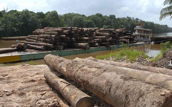 Madeira na Amazônia. A maior parte do que chega ao mercado ainda é obtido de forma predatória (Foto: Wilson Dias/Agência Brasil)