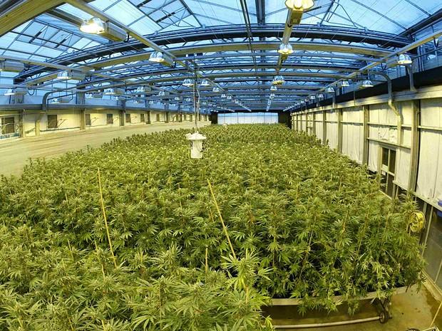 A plantação de maconha da GW Pharmaceuticals no sul da Inglaterra (Foto: GW Pharmaceuticals)