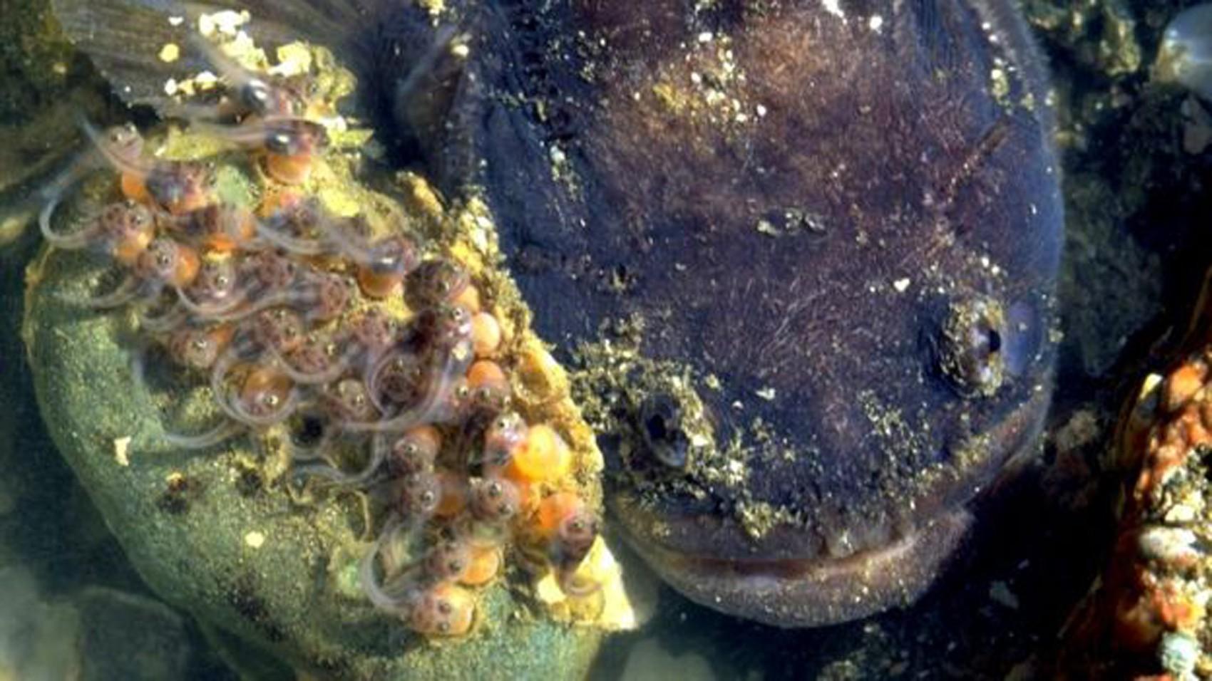 Resultado de imagem para Cientistas desvendam o misterioso zumbido dos 'peixes cantores'
