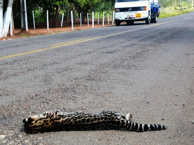 Jaguatirica é uma das espécies que já foram atropeladas no local; registro é de junho de 2013 (Fot Djalma Weffort/Apoena)