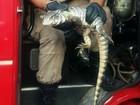 Iguana invade casa e é resgatada pelos bombeiros em Cuiabá