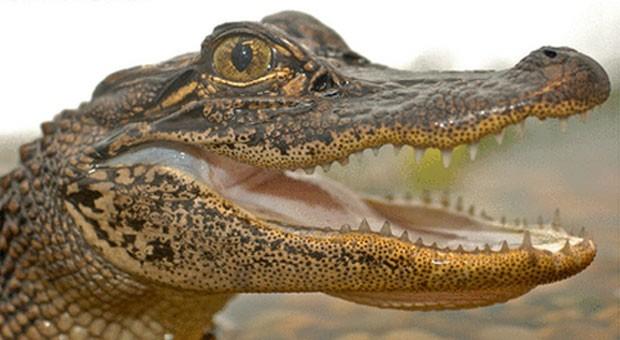 Segundo cientistas, hipersensibilidade de mandíbula de jacarés e crocodilos fazem com que ataque a predadores seja rápido (Foto: Divulgação/Duncan Leitch)