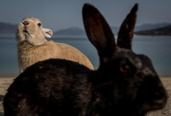 Coelhos na ilha de Okuno, no Japão. A ilha é conhecida como Ilha dos Coelhos (Foto: Chris McGrath/Getty Images)