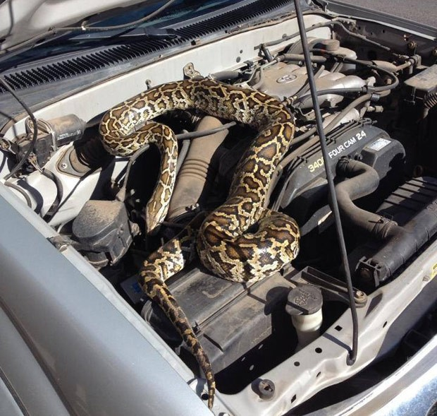Imagem fornecida pela polícia de Santa Fé mostra píton no motor de carro, nesta quinta-feira (10) (Foto: AP Photo/Santa Fe Police Department)