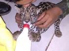 Filhote de onça-pintada criado como gato é resgatado em cidade de MT