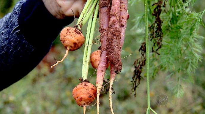 A cenoura redonda de Paris e a cenoura roxa são alguns exemplos de planatas esquecidas (Foto: reprodução EPTV)