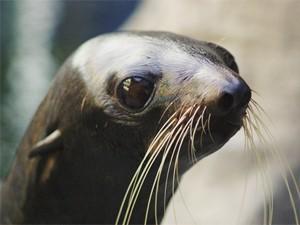 Foca em aquário nos Estados Unidos (Foto: Divulgação/Boston University)