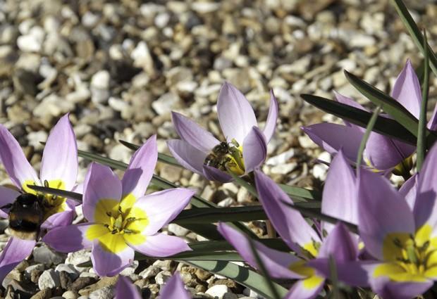 Abelha selvagem e abelha de mel visitam as mesmas flores: a primeira pode estar sendo infectada pela segunda (Foto: Matthias A. Fürst/Divulgação)