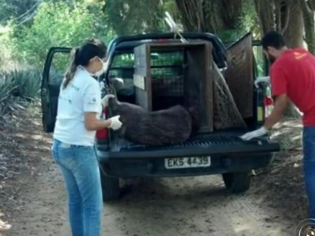 Capivara foi resgatada e levada para ONG (Foto: Reprodução/TV TEM)