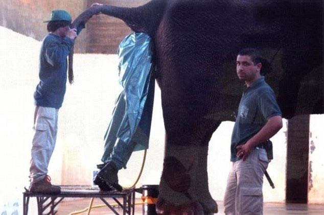 A função dele tem a ver com a fertilização de elefantas