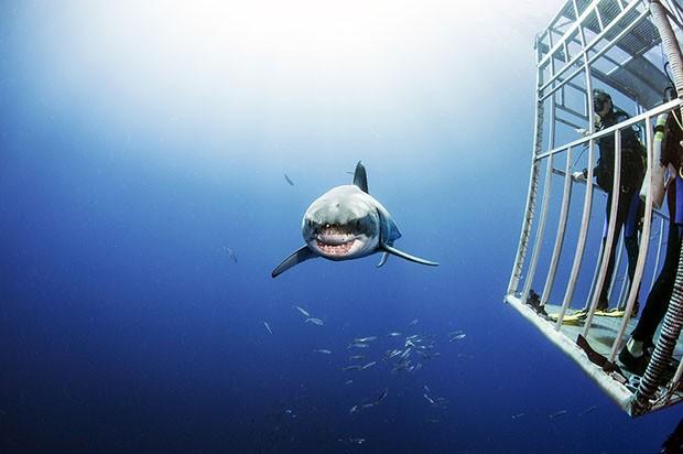 Tubarão branco passa ao lado de gaiola de proteção (Foto: Daniel Botelho)