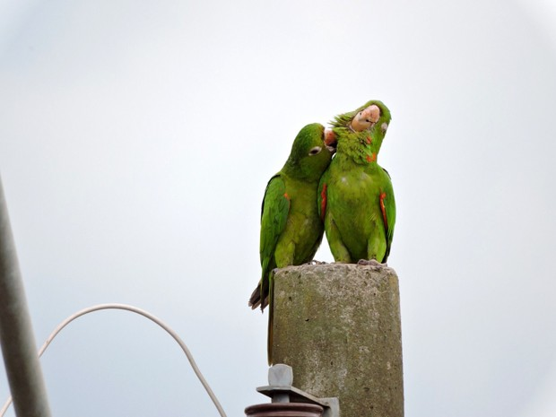 Na ausência de árvores, casal usa o poste como poleiro (Foto: Whillyan Souza Barros / Você no TG)