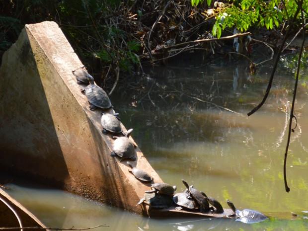 Cágados escalaram estrutura de concreto para termorregularem a temperatura dos seus corpos (Foto: Anderson Viegas/Do G1 MS)
