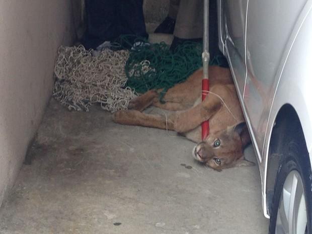Onça-parda apareceu em condomínio de Ponta Grossa nesta manhã  (Foto: Wesley Cunha/RPC)