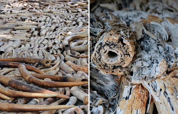 Mais de cinco toneladas de marfim de elefante apreendidas estão sendo destruídas pelas autoridades das Filipinas. O marfim foi incinerado como demonstração de que o país está empenhado em combater o contrabando deste produto, disseram agências internacionais nesta quarta-feira (26) (Foto: Noel Celis/AFP)