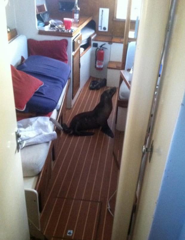 Americano acordou e encontrou filhote de leão-marinho dormindo em beliche de seu barco (Foto: Michael Duffy/AP)
