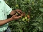 Estiagem prejudica irrigação e cultivo do tomate no norte de MG