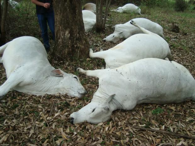 Animais estavam embaixo da árvores quando sofreram a descarga. (Foto: Carlos Alberto Soares / TV TEM)