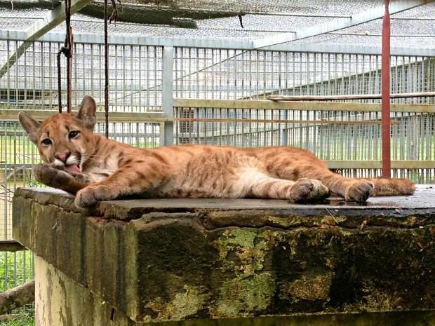 Dodge vive no Centro de Triagem de Animais Silvestres (Cetas) em Porto Velho (Foto: Ivanete Damasceno / G1)