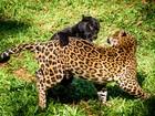 Refúgio Biológico de Itaipu consegue reprodução inédita de onças-pintadas